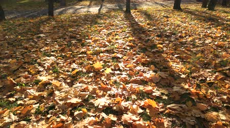 Autumn scene with yellow leaves and sun. Colorful foliage in the park. Beautiful sunny day. Wideo