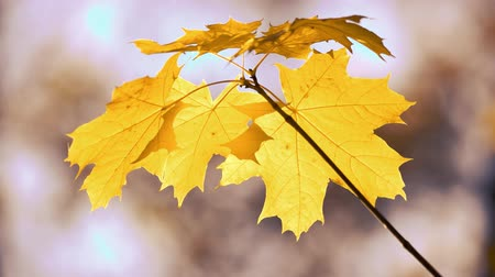 Close up of golden maple tree leaves. Autumn tree leaves on blurred background. Amazing nature of fall.