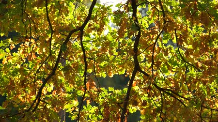 Close up of oak tree leaves. Autumn oak tree leaves in fall sunlight. Warm autumn concept. Wideo