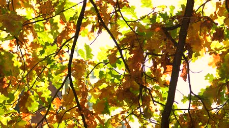 Falling autumn leaves close up. Sun shining through fall leaves. Wideo