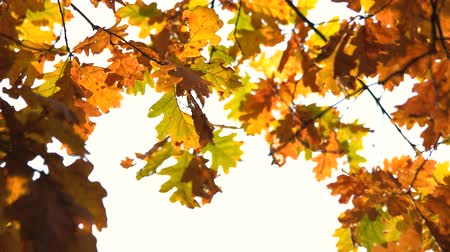 Autumn leaves in the sun. Autumn tree leaves at sky background. Abstract autumn backdrop. Wideo