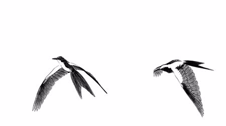 glide : collection of loop animated flying sketch bird in different position on isolate white