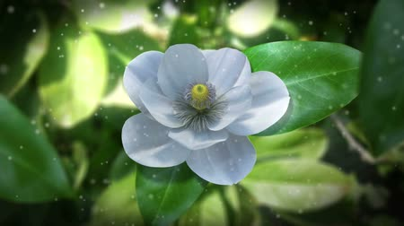 open blossom :  growing magnolia flower time lapse animated concept background