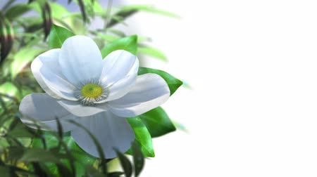 flower : growing magnolia flower time lapse animated concept background
