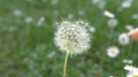 significado : Dandelion blowing, slow motion Stock Footage