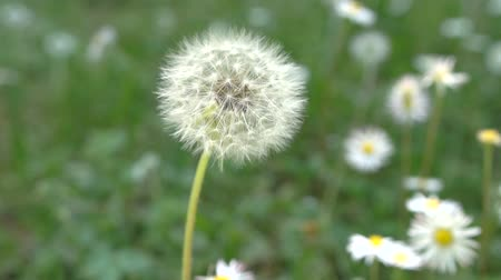 anlamı : Dandelion, slow motion close-up