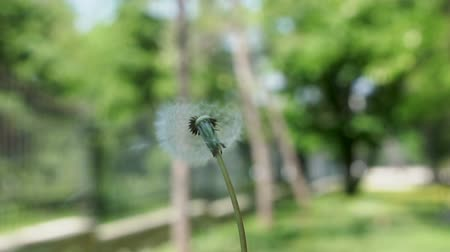 anlamı : Dandelion blowing, slow motion Stok Video