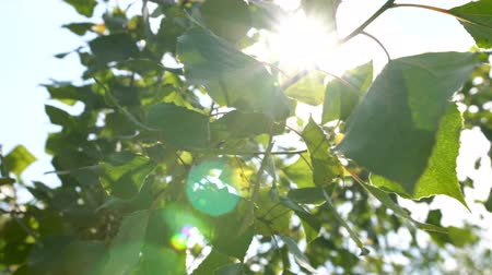 through leaves : Sun beams through tree. Close-up of sun glare in the tree foliage. Stock Footage