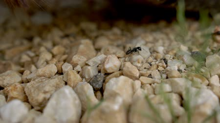 ant : The ants walks over the stones. The Ant trail. Close-up. Stock Footage