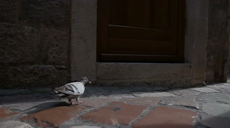droga : dove on the street pigeon in the rays of sunlight. On the sunny day
