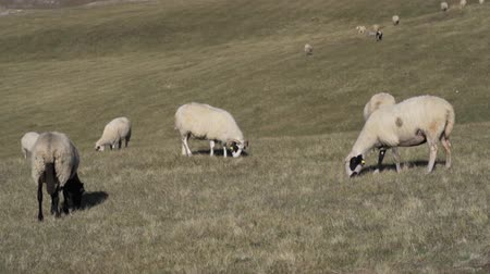 dáma : Chipped sheep graze in meadows and fields in the highlands Dostupné videozáznamy