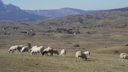 домик : Chipped sheep graze in meadows and fields in the highlands Стоковые видеозаписи