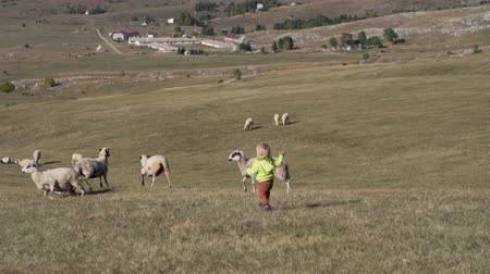 dáma : Little boy runs across the field amid grazing sheep