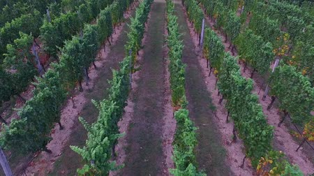 Aerial shot of vineyard. Flight over of grape rows. Stockvideo