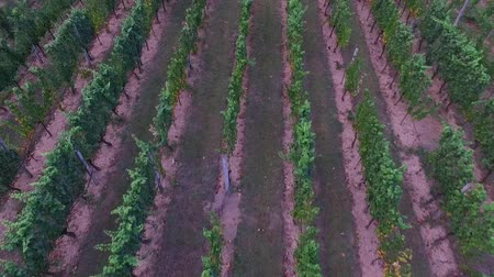 toszkána : Aerial shot of vineyard. Flight over of grape rows. Stock mozgókép