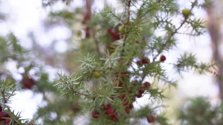 üvez ağacı : Green and red berries on a woodtree.