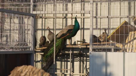 Peacocks walk in an open enclosure. Stockvideo