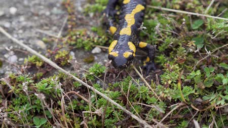 Fire salamander in the natural environment, close up, head macro detail.