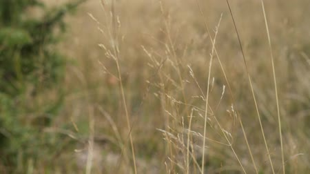 tahıllar : Ears of dry grass sway in the wind on a blurry background of deciduous forest, close-up Stok Video
