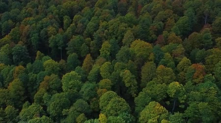 Nature top-down aerial view, flying over lush pine tree forest.