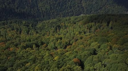 tűlevelű : Nature top-down aerial view, flying over lush pine tree forest.