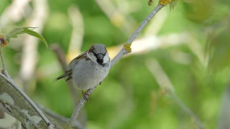 young sparrow : House Sparrow Sitting On A Branch,Chirping And Fly Away, Slow Motion, Male Stock Footage