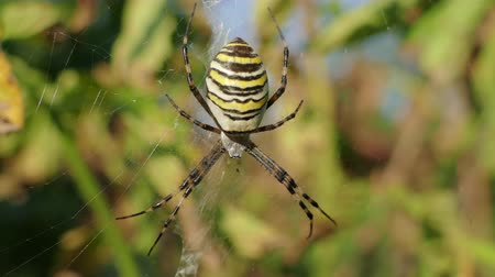 cross spider : Wasp Spider (Argiope bruennichi) In Its Web In Ukraine Stock Footage