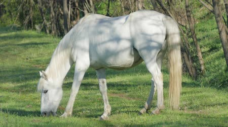 criniera : White Horse Graze In A Green Pasture In The Early Morning