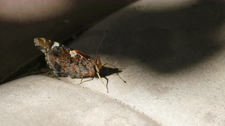 привлекать : Red admiral (Pyrameis atalanta) Butterfly Sitting On The Sidewalk Tile, Sucks Water Стоковые видеозаписи
