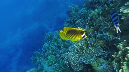 raccoon : Raccoon Butterflyfish Near Coral Reef, Slow Motion Stock Footage