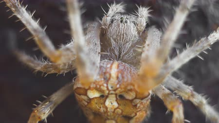 жестокий : cross spider macro shot Стоковые видеозаписи