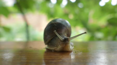 caracol : Grape Snail, Close Up