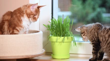 domestic animals : Cute kittens eats fresh green grass at home. Domestic young black tabby mackerel and red-haired Maine Coon cats on windowsill in apartment. Kitty on window sill. Stock Footage