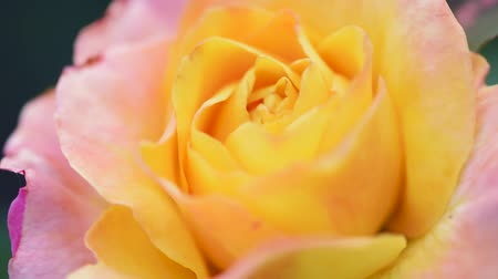 rosebush : Beautiful bright yellow rose in the spring or summer garden - close up outdoors Stock Footage