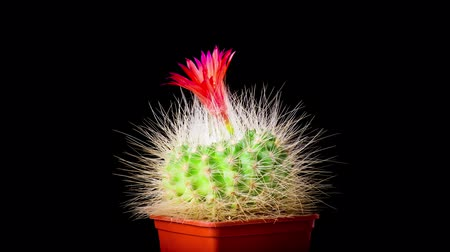 kaktus : Time-Lapse of beautiful cactus or cacti flowers which are in their colorful blooming on black background. Timelapse opening red Parodia penicillata.
