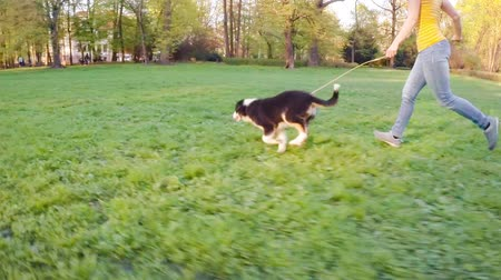 aussie : Happy Aussie dog runs on meadow with green grass in summer or spring. Beautiful Australian shepherd puppy 3 months old running with woman. Cute dog enjoy playing at park outdoors.