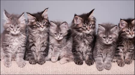 kotě : Maine Coon kittens 2 months old sitting on scratching post for cats. Studio footage of beautiful domestic kitty on gray background.
