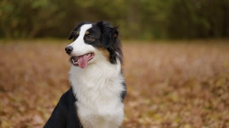 soluma : Happy Aussie at autumn park. Beautiful Australian shepherd puppy 10 months old - portrait close-up. Cute dog enjoy playing in a park an autumn sunny day. Stok Video