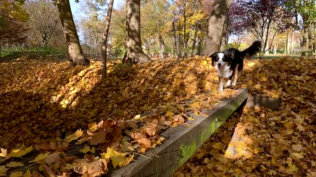aussie : Slow motion - Dog runs across the bridge in the autumn park. Beautiful Australian shepherd puppy 10 months old, enjoy playing in forest an autumn sunny day. High speed camera - shot at 240fps.