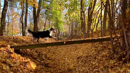 měsíců : Slow motion - Dog runs across the bridge in the autumn park. Beautiful Australian shepherd puppy 10 months old, enjoy playing in forest an autumn sunny day. High speed camera - shot at 240fps.