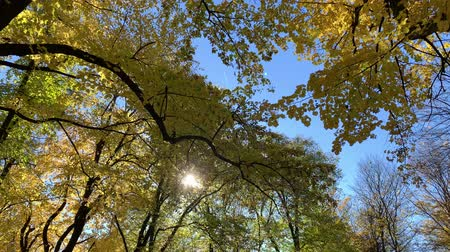 eylül : 4K Sun shining through fall leaves - autumn city park or beautiful forest with sun shining and blue sky.