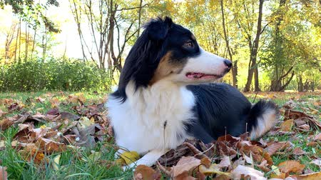 pastýř : Happy Aussie at autumn park. Beautiful Australian shepherd puppy 10 months old - portrait close-up. Cute dog enjoy playing in a park an autumn sunny day. Dostupné videozáznamy
