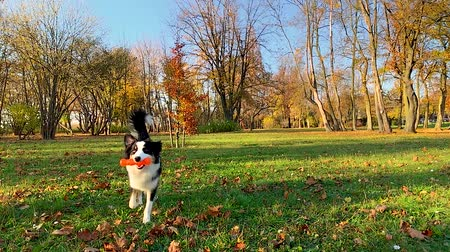 aussie : Happy Aussie dog walking at forest or park an autumn sunny day. Beautiful Australian shepherd puppy 10 months old with toy. Cute dog enjoy playing at park outdoors.