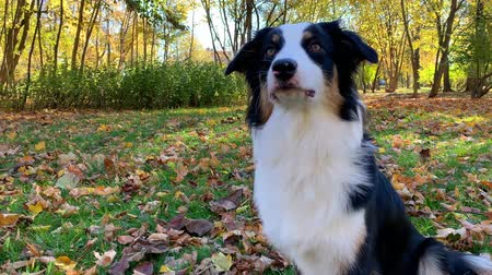 autumn forest : Happy Aussie at autumn park. Beautiful Australian shepherd puppy 10 months old - portrait close-up. Cute dog enjoy playing in a park an autumn sunny day. Stock Footage
