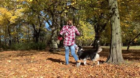 aussie : Woman training a happy dog in the autumn park. Beautiful Australian shepherd puppy 10 months old enjoy playing in a park an autumn sunny day. Stock Footage