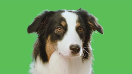 uzakta bakıyor : Dog head against chroma key green screen background. Cute Aussie looking at camera and away on green chromakey background for keying. Beautiful Australian shepherd puppy - portrait close-up.