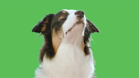 pásztor : Dog head against chroma key green screen background. Cute Aussie looking at camera and away on green chromakey background for keying. Beautiful Australian shepherd puppy - portrait close-up.