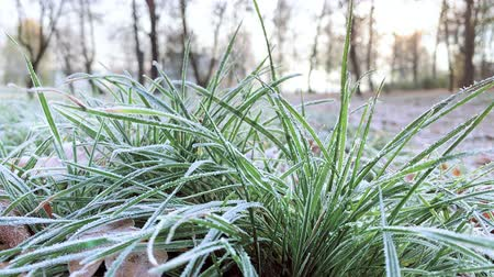 snow on grass : Autumn green grass in frost. Harbingers of winter - rime, first frost on plants. Ice crystals on frosted leaves at morning frost. Stock Footage