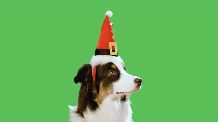 pastýř : Dog with Christmas hat against chroma key green screen background. Cute Aussie on green chromakey background for keying. Beautiful Australian shepherd puppy - portrait close-up. Happy New Year.