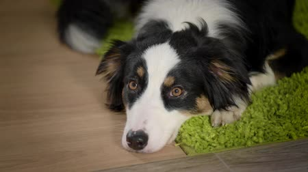 imagem : Australian Shepherd Dog is Lying on the floor. Black Tri color Aussie purebred Puppy 11 months old, at home. Stock Footage